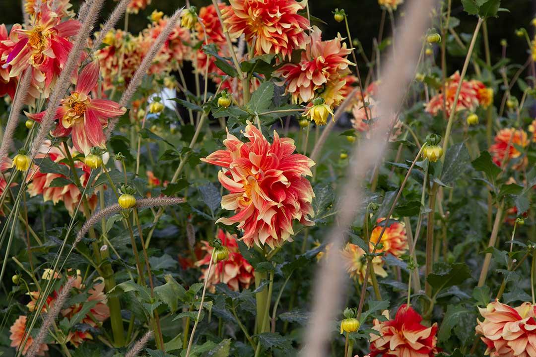 Fleurs rouge avec du jaune