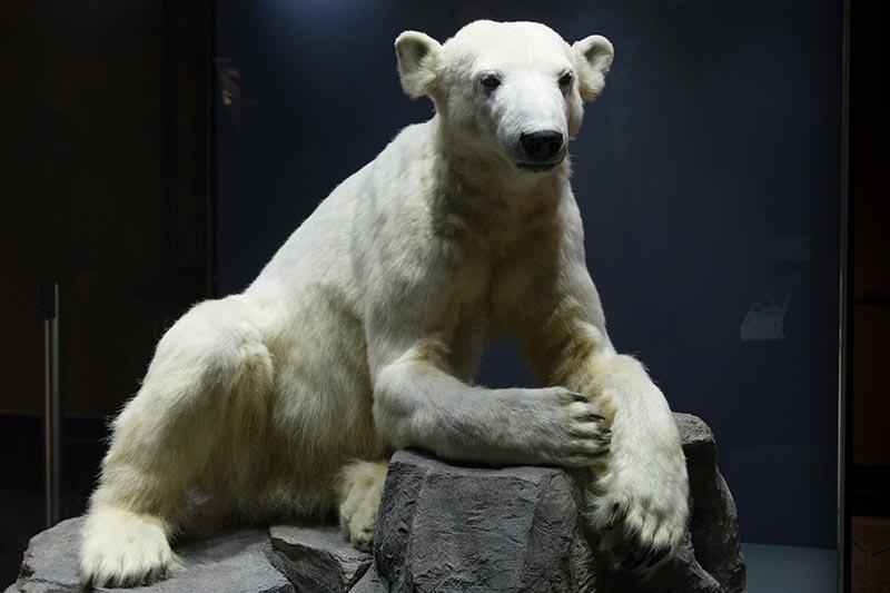 Knut au Naturkunde Museum de Berlin - Photo Didier Laget