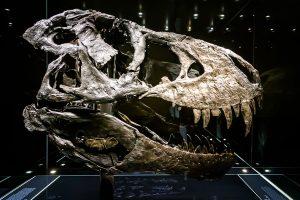 T.rex Tristan - Photo Didier Laget