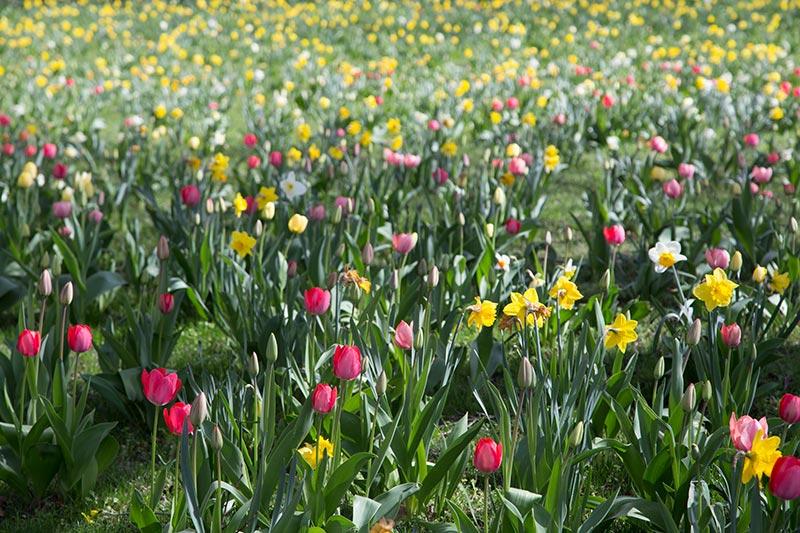 Jonquilles jaunes et des blanches. Tulipes - Photo Didier Laget